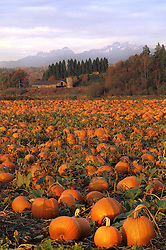 North America, United States, Washington, Snohomish. Pumpkin farm with old barn and Cascade mountains in distance