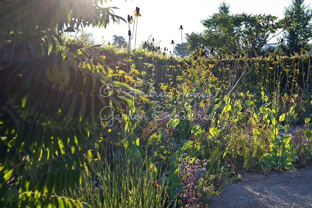 Border including Rhus typhina (Stag's horn sumach), Rudbeckia maxima (great coneflower), Patrinia scabiosifolia (Golden valerian, Golden lace), Geum chiloense 'Blazing Sunset' (avens 'Blazing Sunset') and Eryngium planum 'Blaukappe' (sea holly 'Blaukappe'). <br /> <br /> Gravel pathways.<br /> <br /> IGA Berlin 2017, 'The Garden of Vulcan'<br /> Design: Tom Stuart-Smith Ltd