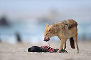 Black backed jackal (Canis mesomelas) attacks Cape Fur Seal pup (Arctocephalus pusillus), Tsau-ǁKhaeb-(Sperrgebiet)-Nationalpark, Namibia | Schabrackenschakal (Canis mesomelas) frißt an Kap-Pelzrobbe (Arctocephalus pusillus pusillus), auch Südafrikanischer Seebär genannt. Sperrgebiet National Park, Namibia