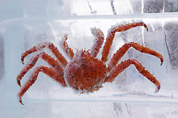 Large red crab frozen in block of ice at Sapporo Ice sculpture festival in Hokkaido Japan