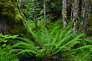A Western Sword Fern (Polystichum munitum) grows at the base of a moss-covered Big Leaf Maple tree trunk (Acer Macrophyllium) in a temperate forest on the Kitsap Peninsula in Puget Sound, Washington state, USA.