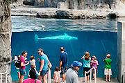 Beluga whale, Mystic Aquarium, Connecticut, CT, USA