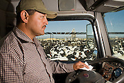 05 MAY 2008 -- BUCKEYE, AZ: JACOB VALESQUEZ operates a feed truck in the Heiden Land & Cattle Company feed lot in Buckeye, AZ. Les Heiden, owner of the Heiden Land & Cattle Company, said his corn prices have gone up by 123% since May, 2006. He attributes about 85 percent of the price increase to the ethanol industry, which he said his buying five times more corn now than they were two years ago. Heiden feeds about 4,500 head of cattle in his feed lot, which is west of Phoenix.  Photo by Jack Kurtz