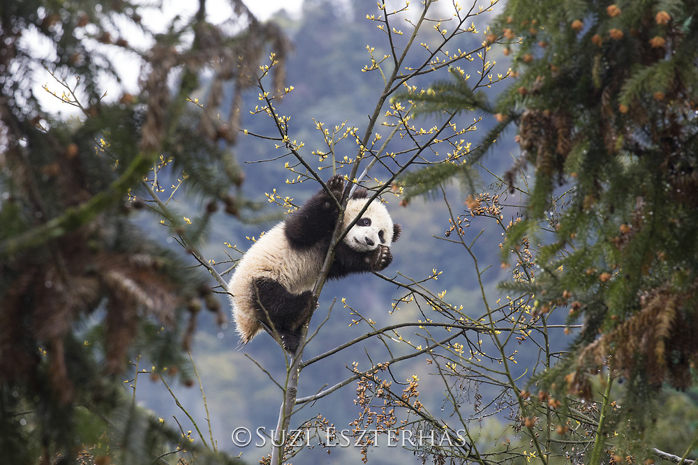 Giant Panda<br /> Ailuropoda melanoleuca<br /> 6-8 month-old cub in tree<br /> Bifengxia Base of China Conservation and Research Center of Giant Panda, Ya'an, China<br /> *captive