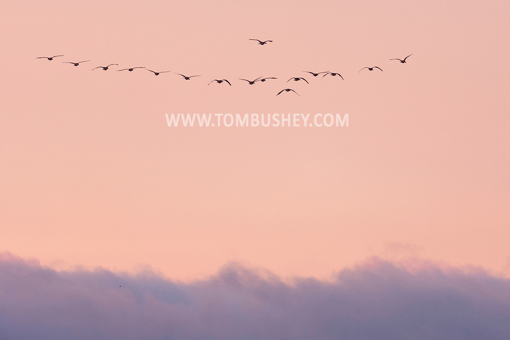 Salisbury Mills, New York - A flock of Canada geese fly above the clouds before dawn on Aug. 12, 2014.