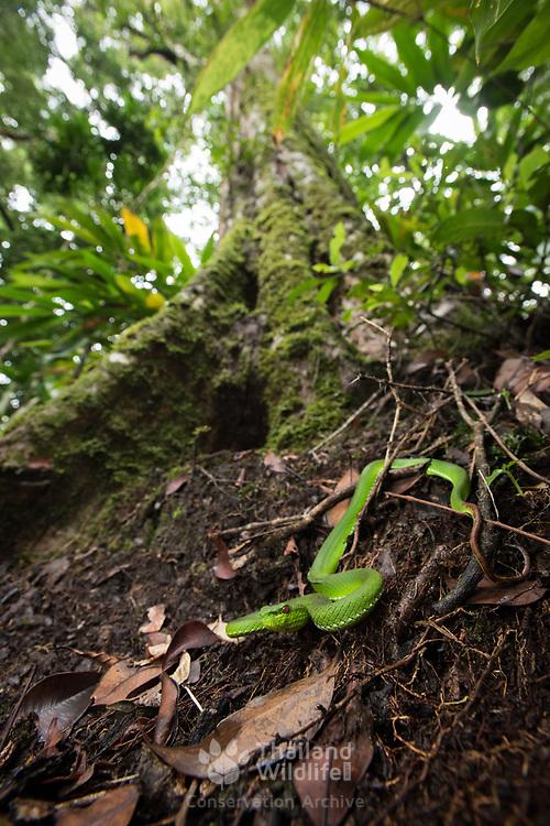 Pope's Pit Viper (Trimeresurus popeiorum) subadult female in situ in Kaeng Krachan national park, Thailand