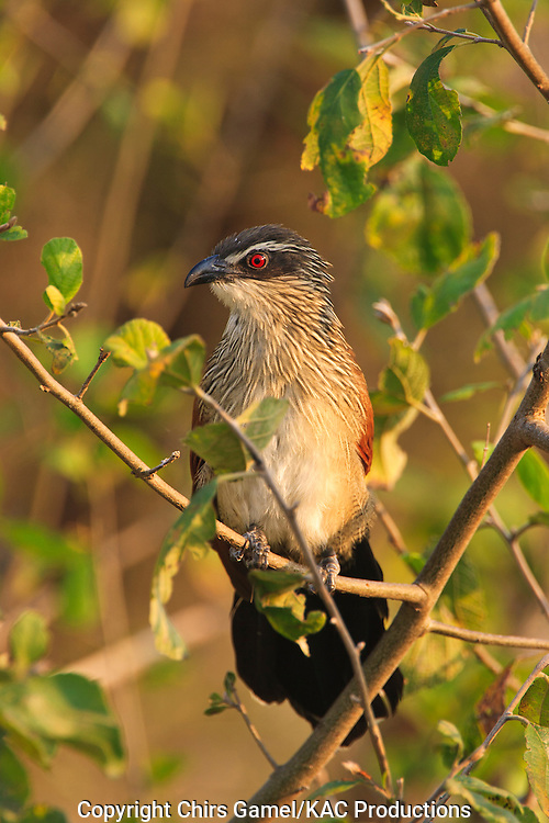 White-browed Coucal (Centropus superciliosus) perched on a branch, Tarangire National Park, Tanzania, Africa