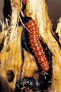 A split tayanca tree reveals a waykjuiro worm. Ocra Katunki, Peru. These worms are either cooked directly on the embers of a fire, or roasted in a frying pan. (Man Eating Bugs page 154 Bottom)
