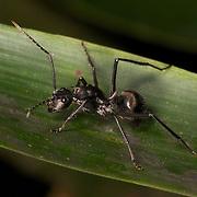 Polyrhachis illaudata illaudata ant in Khao Yai National Park.