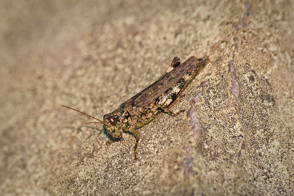 A pine tree spurthroat grasshopper (Melanoplus punctulatus) perched on a lichen-coated talus boulder near sunset at Blackrock Summit, Shenandoah National Park, VA