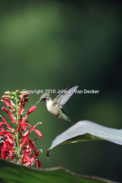 Ruby-throated Hummingbird, Archilochus colubris, feeding on red Cardinal Flowers, Lobelia cardinalis. Leamings Run Gardens, Cape May Court House, New Jersey, USA, North America.