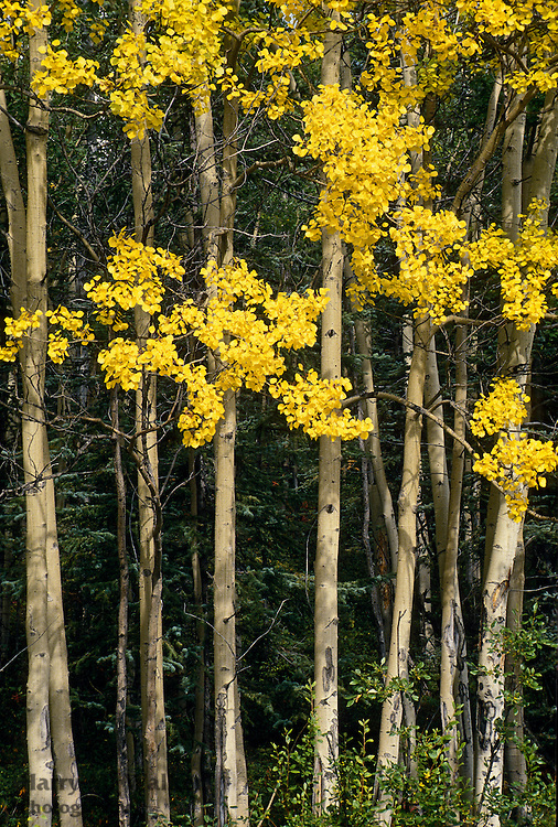 Quaking Aspen (Populus tremuloides);Denali National Park Alaska near Riley Creek