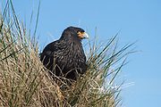 "The Striated caracara (Phalcoboenus australis) or ""Johnny rook"" rests in tall grass on Isla de Los Estados, Argentina."