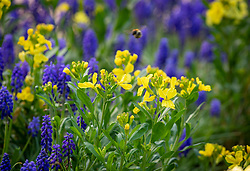 Muscari armeniacum - Grape hyacinth - with Erysimum cheiri 'Sunset White' -Sunset Series