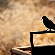 Black bird at Twyfelfontein, Namibia.