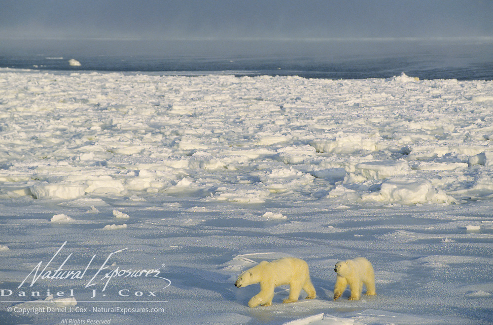 Polar Bear mother and cub waiting for the ice to freeze over on Hudson Bay. Canada
