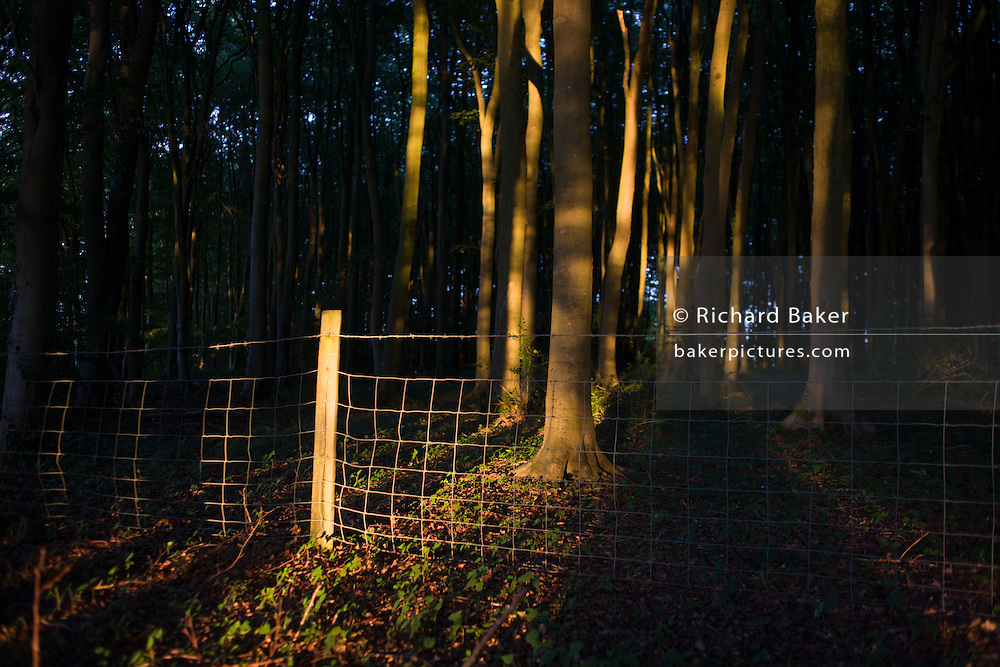 Beech trees in orange light during late evening summer sunshine in woodland in North Somerset, UK.