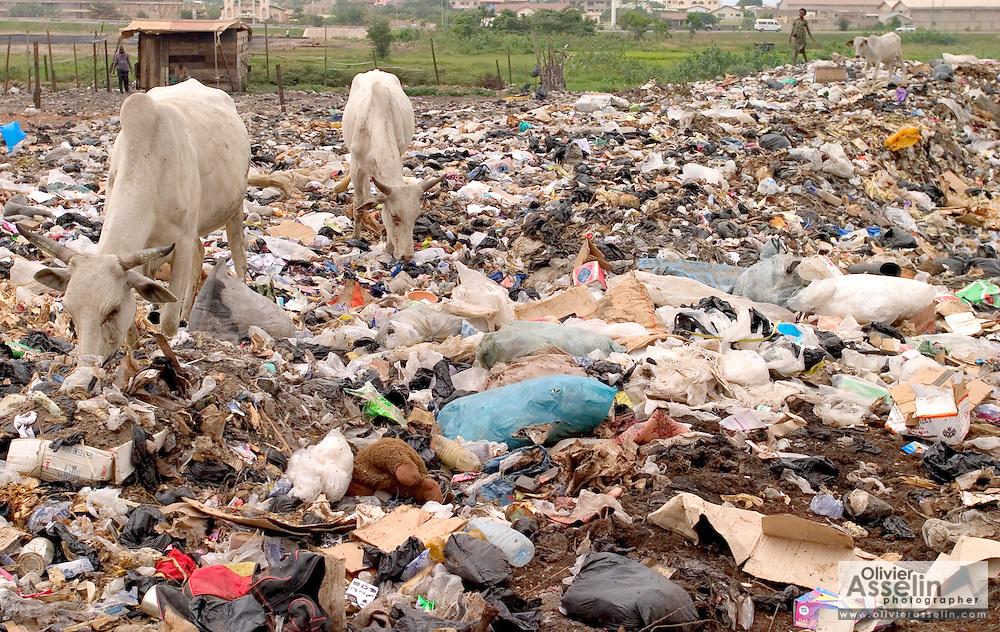 Cattle feeding in garbage dump outside Ashaiman, one of Ghana's largest slums.