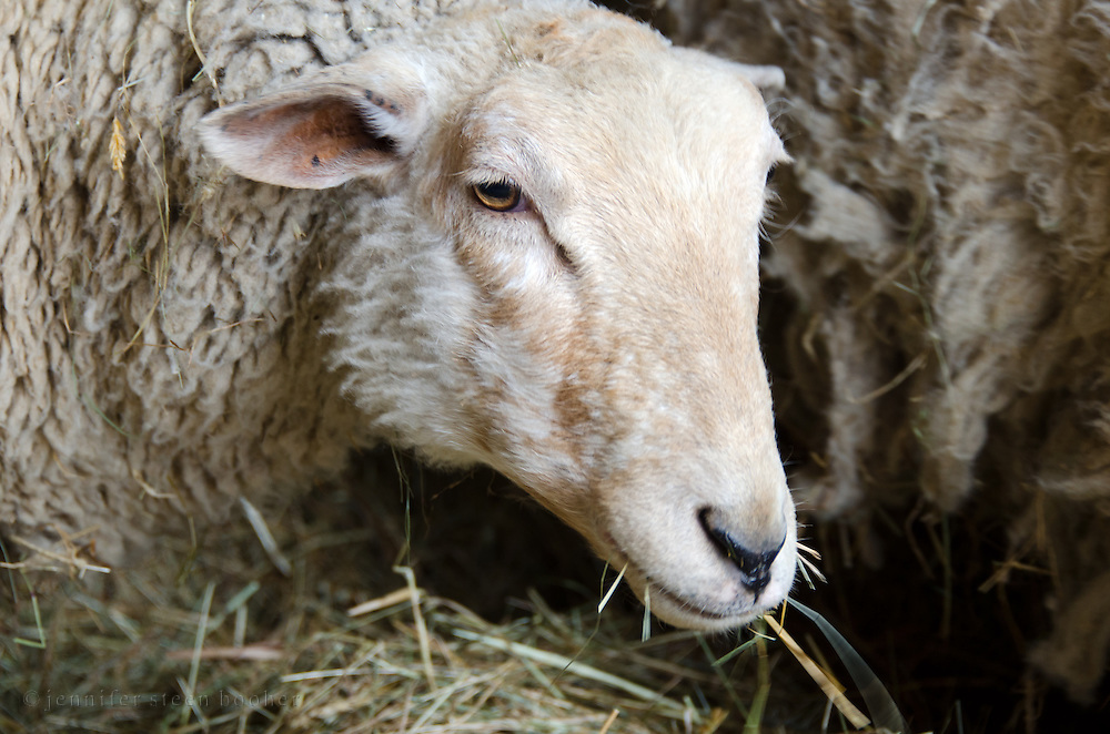 A grumpy-looking ewe chewing a mouthful of hay, Happytown Farm, Maine.