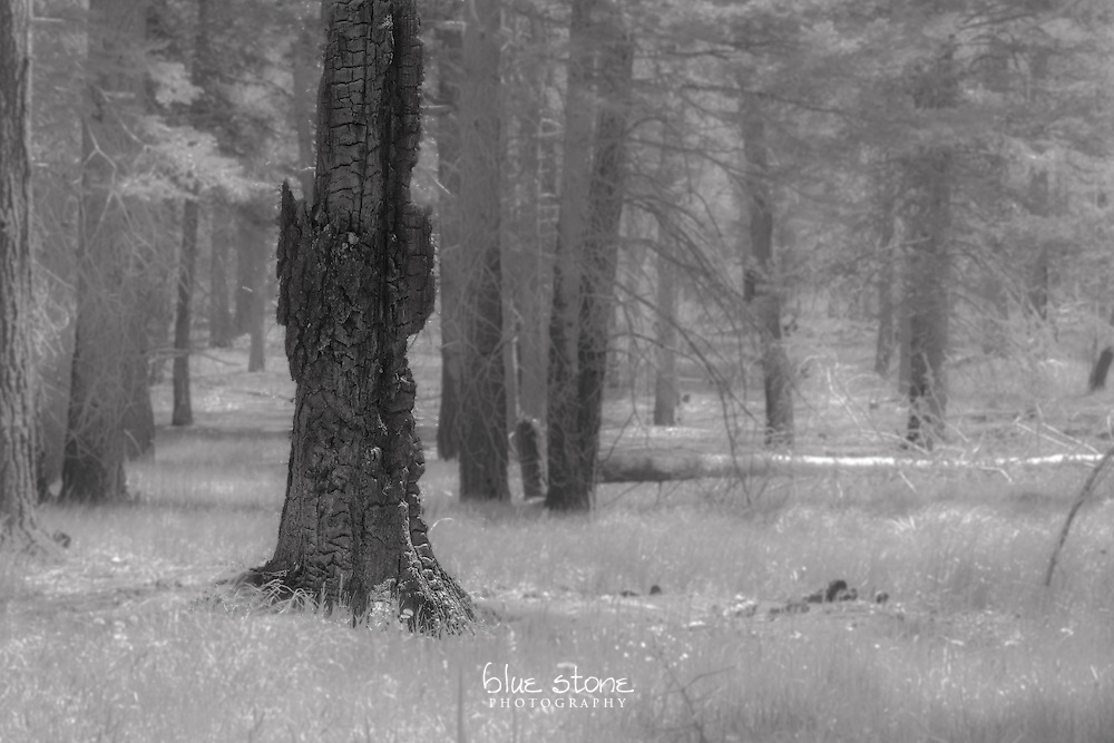 Black and white image of the remains of a tree after a wildfire represents exile from the living forest.<br />