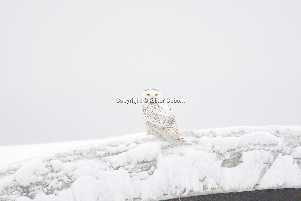 Snowy Owl on barn roof
