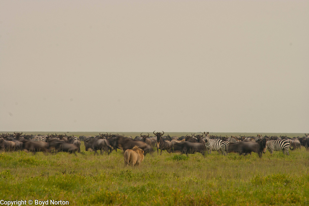 Male lion being watched carefully by wildebeest