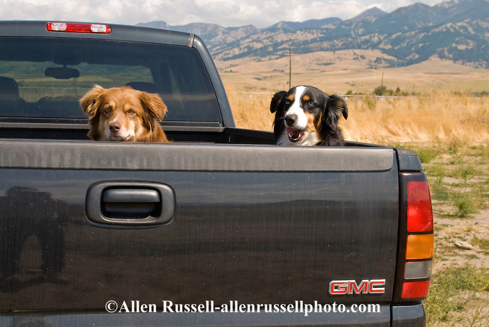Australian Shepherd cow dogs in back of pickup truck faithfully waiting for master