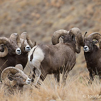 group of trophy bighorn rams