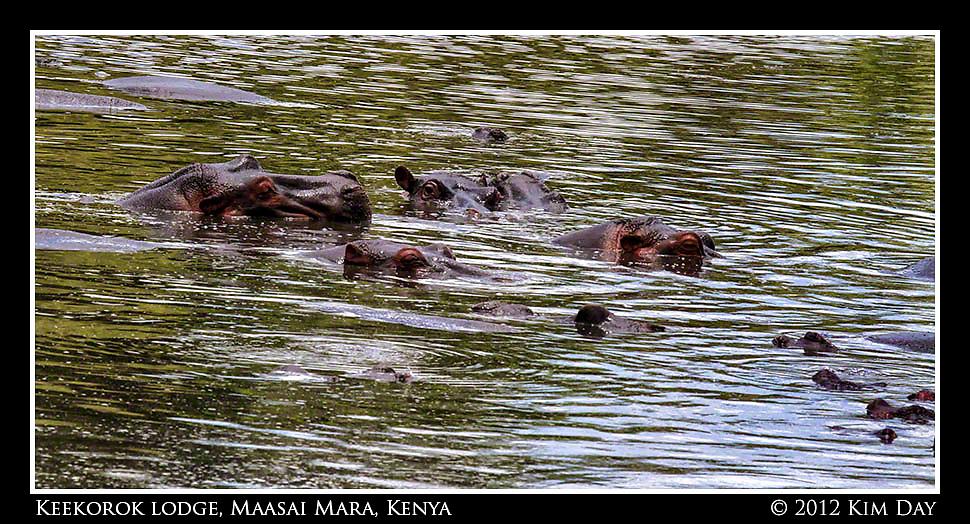 Submerged Hippo.Keekorok Lodge, Maasai Mara, Kenya.September 2012