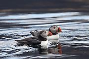 Puffins swimming in the ocean | Lundefugl som svømmer i sjøen.
