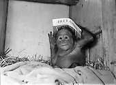 1954 - 07/01 Dublin Zoo - The Baby Orangutan Lily