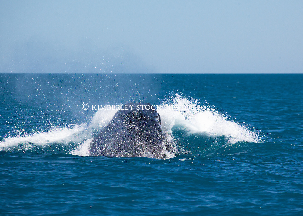 """A humpback whale breaks the surface as four bulls compete in a """"heat run"""" off Willie Creek north of Broome."""