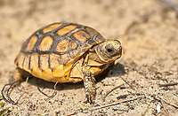 Young Gopher Tortoise (Gopherus polyphemus), Merritt Island National Wildlife Reserve, Florida, USA   Photo: Peter Llewellyn
