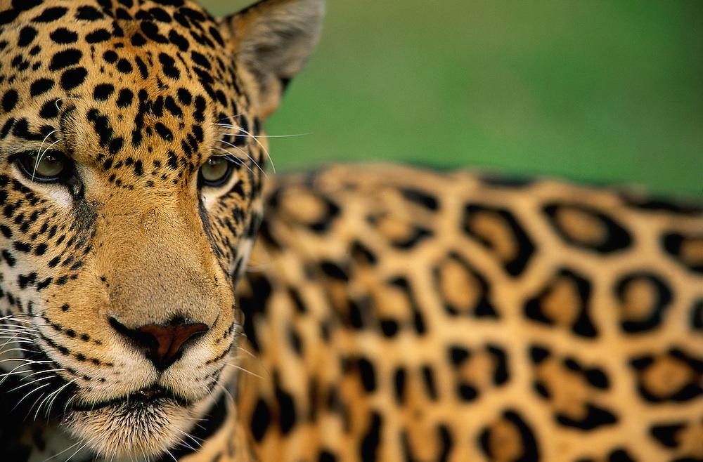 Jaguar, Panthera onca, Pantanal, Mato grosso, Brazil, Captive