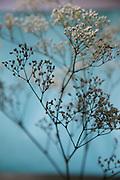 Gypsophila-blue, white and purple