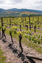 New Zealand, South Island, Marlborough, winery touring, tasting, and vineyards at Wairau Rivery Winery  Sauvignon Blanc and Pinot Noir wine. Photo copyright Lee Foster. Photo #126467