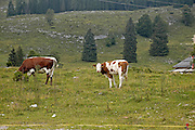 Austria, Upper Austria, Gosau village, in the Dachstein Mountains cows grazing in the fields