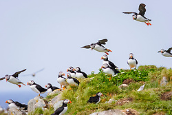 bird flock, Atlantic Puffin Fratercula arctica Newfoundland CANADA