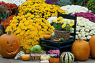 63821-12503 Halloween Garden display: Jack-O-Lantern, pumpkin, mums, gourds & green chair Marion Co.  IL