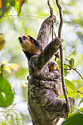 Pale-throated sloth<br /> Bradypus tridactylus<br /> Mother and three-month-old baby <br /> Sloth Island, Guyana