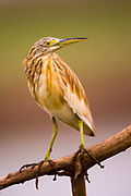 Squacco Heron (Ardeola ralloides) on a branch. Photographed in Israel in September