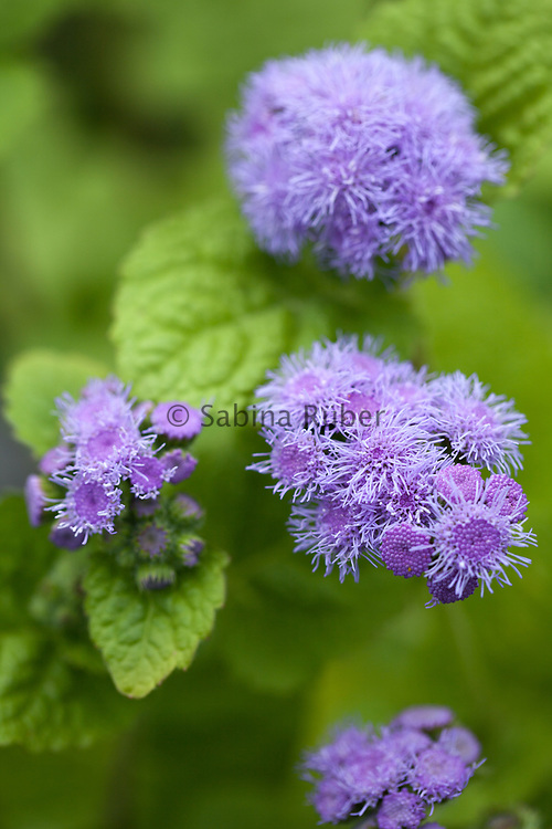 Ageratum houstonianum 'Blue Horizon' triploid ageratum - floss flower