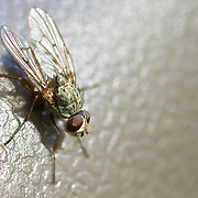 A macro shot of a fly
