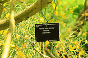 Mount Etna Broom Genista aethnensis plant identification label sign,  Kew Gardens, London, England, UK