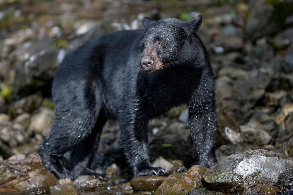 USA, Alaska, Kake, Black Bear (Ursus americanus) walking along Gunnuk Creek during salmon spawning season