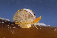 Spotted or Common Cowrie - Trivia monacha