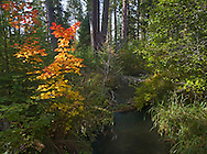 Fall colors along the north and south forks of Lake Creek in the Metolius Preserve near Camp Sherman, Oregon.