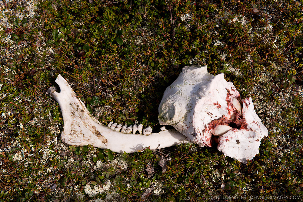 Remains of an animal skull near Wonder Lake in Denali National Park and Preserve in Alaska. Very little remains of dead animals. The body and bones of the carcass will provide food and other nutrients for other wildlife.
