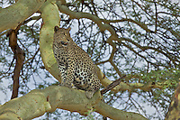 Leopard (Panthera pardus) hunts from a acacia tree, Serengeti
