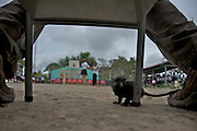 A monkey watches from below a judges chair at a school beauty pageant - Puerto Narino - Amazonas - Colombia